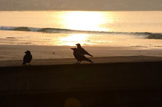 由比ヶ浜で見かけたカラス