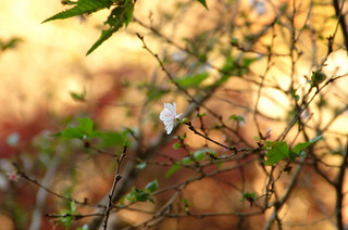 瑞泉寺の冬桜。先日の鎌倉ハイキングの終着点でした。