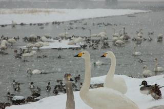 見ているだけで寒い白鳥さん達・・・
