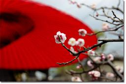 庭には赤い傘と梅が。梅さん,ちょっとこっちを向いてもらえると絵になるのですが…