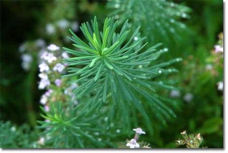 これは,蔵王のペンションに泊まった時の庭の花(草?)