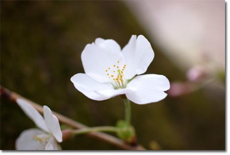 サクラの花はかわいいですなぁ・・・。もうちょっと絞って撮らなきゃなぁ。