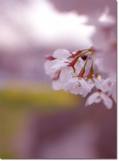 今日は「こどもの国」。週末は鎌倉サクラツアーです。