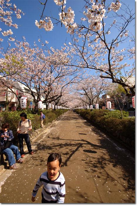 鶴岡八幡宮前の段葛。どこまでも続く満開桜のトンネル(とカズボン)。  【フォトアルバムはこちら!】