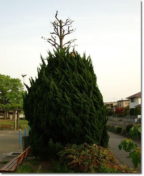 ん? 木のてっぺんに何かが・・・。