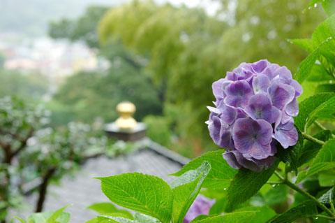 お寺のてっぺん(なんて言うんだろ?)と紫陽花。
