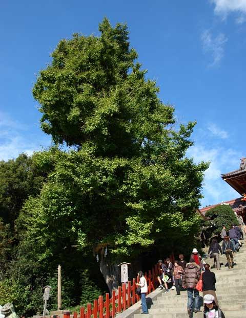 どか~ん。全く紅葉してない。これは八幡宮の「大銀杏」です。