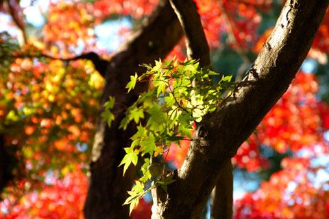 これは,去年の瑞泉寺の紅葉。今年はどうかなぁ~?