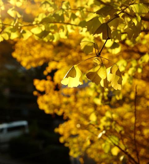 本日の新発見。透過光で見る銀杏は美しい! 【鎌倉紅葉朝ポタのアルバムはこちら~!】