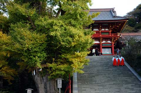 鶴岡八幡宮の大銀杏。まだ台風の傷が癒えないのかなぁ・・・。