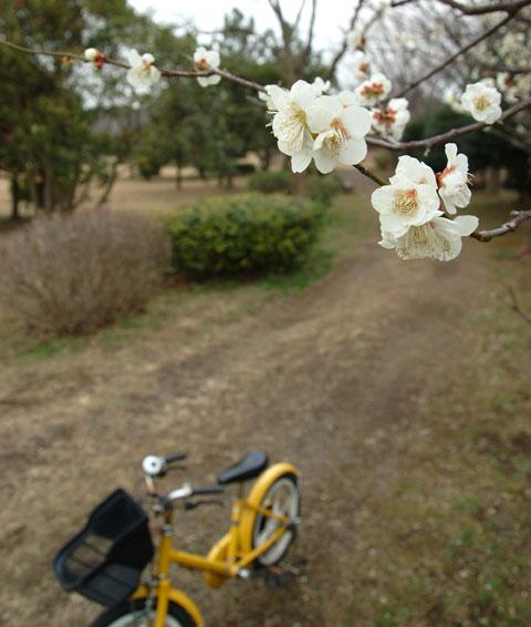 ご近所公園の梅と,カズボン無印良品号