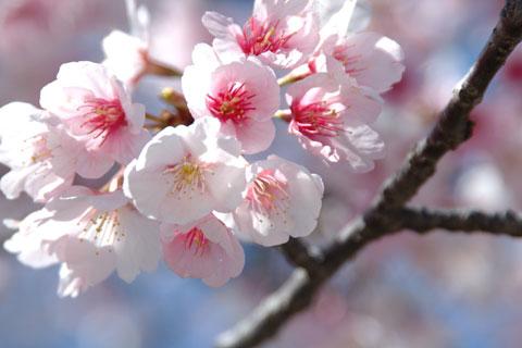 八幡宮では,梅ではなく桜! 早いなぁ・・・。