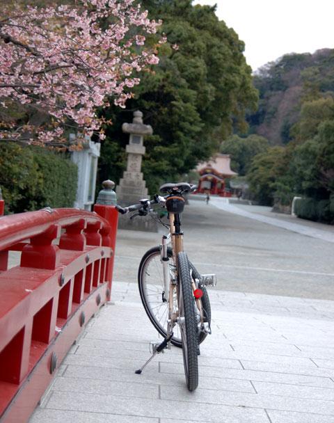 これが今朝の八幡宮,入口付近の早咲き桜。段葛はまだ0です。