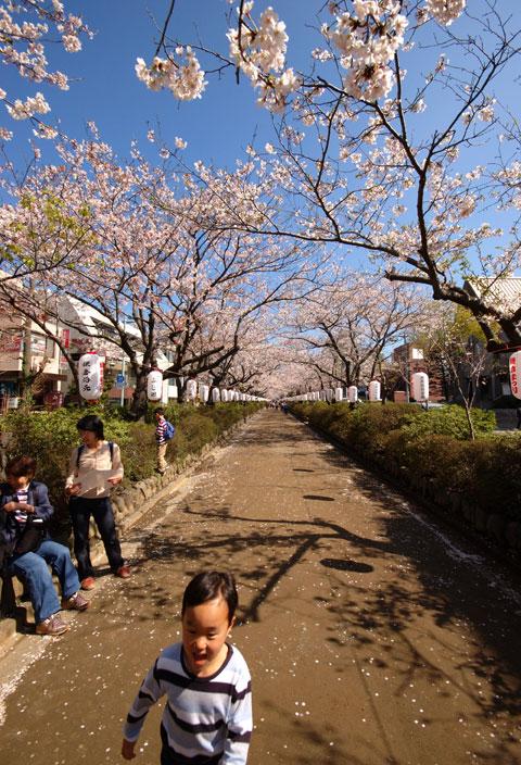 これは去年。段葛の桜満開トンネルを駆け抜けるカズボンさん。