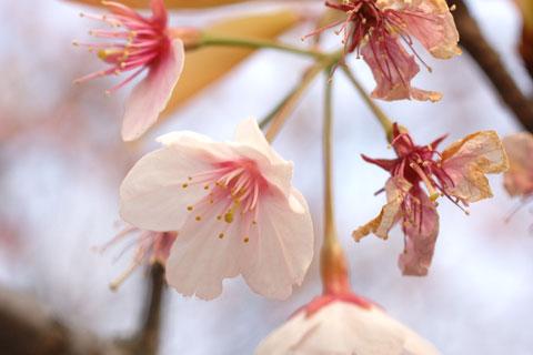 八幡宮一本だけ見つけた早咲きの桜。枯れ始めてますが・・・。