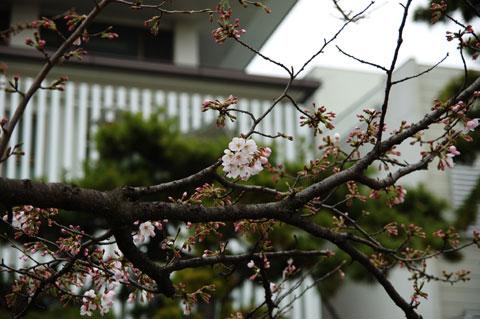 段葛の桜が数本,咲き始めました~