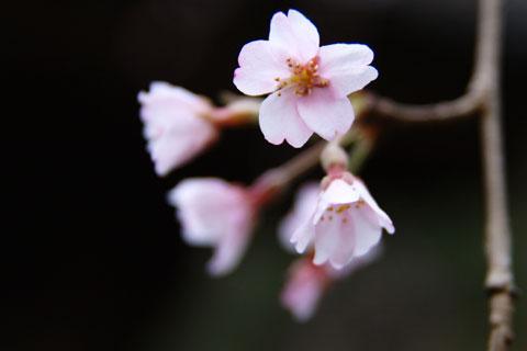 本日の数少ない収穫。安国論寺の一本桜です。(マクロレンズ忘れたけど・・・)