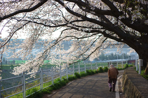 ほんとにのどかな桜並木。心がゆったりします・・・。