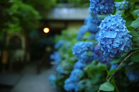 せっかくなので梅雨らしくアジサイも。これは明月院。