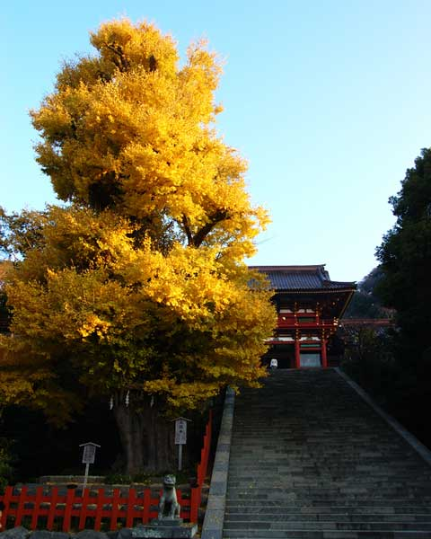 紅葉真っ盛りの鶴岡八幡宮の大銀杏。2年ぶりに会うことができました♪