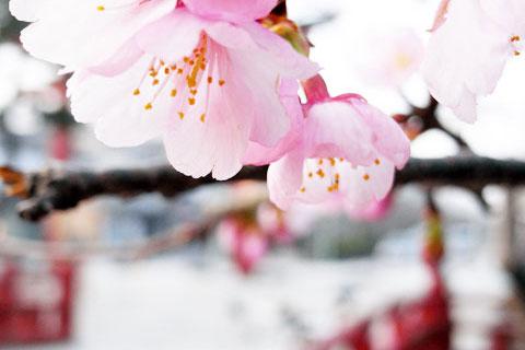 八幡宮の入り口付近にある早咲き桜。まもなく,桜シーズンが来ますよ~!