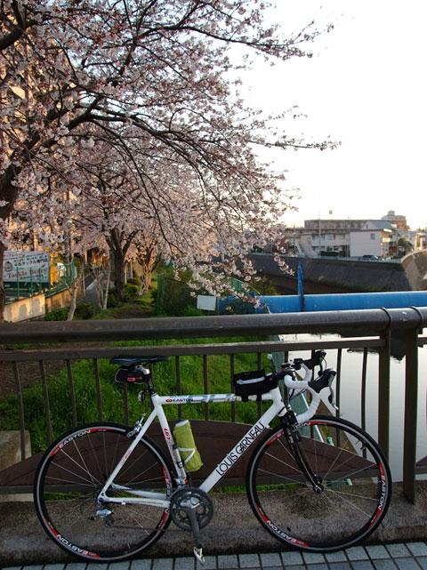 境川。藤沢駅付近の小さな桜並木。穴場でもあり,気に入っている場所です。