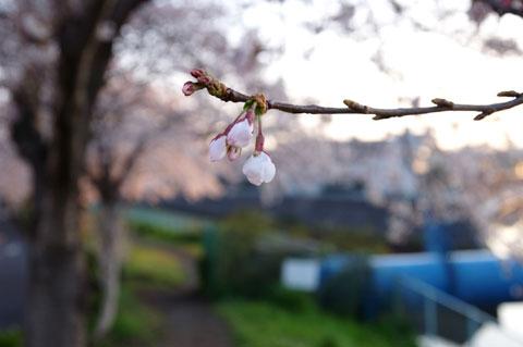境川。本当はこういう,つぼみから桜情報をお伝えしたかったんだけど,いきなり満開だからなぁ……。