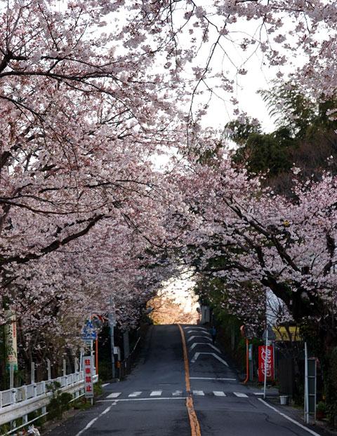 こちらは鎌倉山のボンジュール前。こちらも桜トンネルだったりします♪