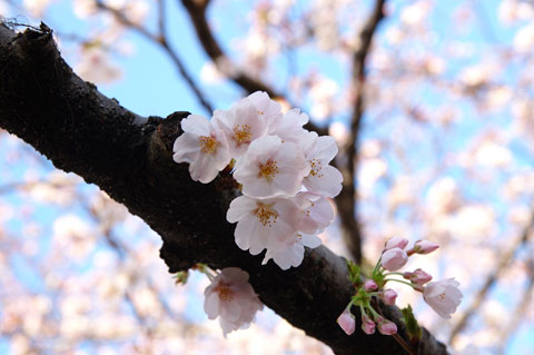 段葛で。どの花も咲いたばかりなので,形も色もとても綺麗♪ まだ少しつぼみもあります。