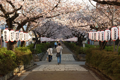 段葛の桜トンネルは長~~~いのです