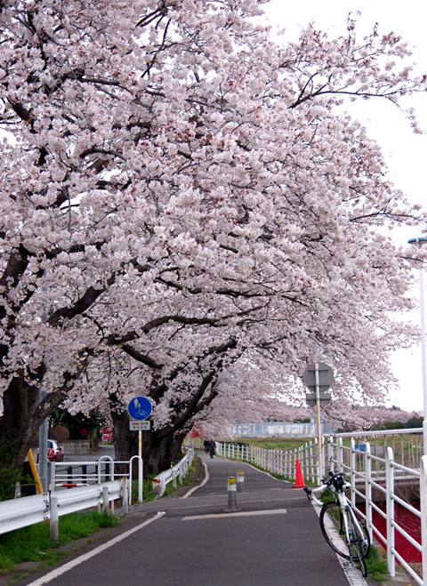 LGS RHC号や向こうを歩く人と比べると,桜の雄大さが分かります。すごい~