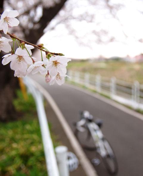 写真はイマイチですが,桜の花ひとつひとつが綺麗なのです。