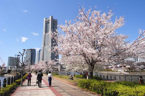 ランドマークタワー付近,汽車道の桜並木。人工的ではあるけど,それでも桜は綺麗。