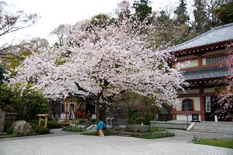 長谷寺の境内に咲く大きなソメイヨシノ。おいら的には鎌倉一の美しさ。