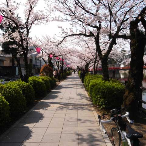 小田原城のお堀端。ここも桜が満開でした~