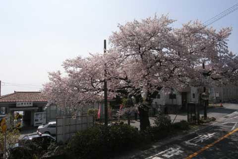 JR根府川駅まえの桜。とても立派な桜でした。若い桜とは幹の貫禄が違います。