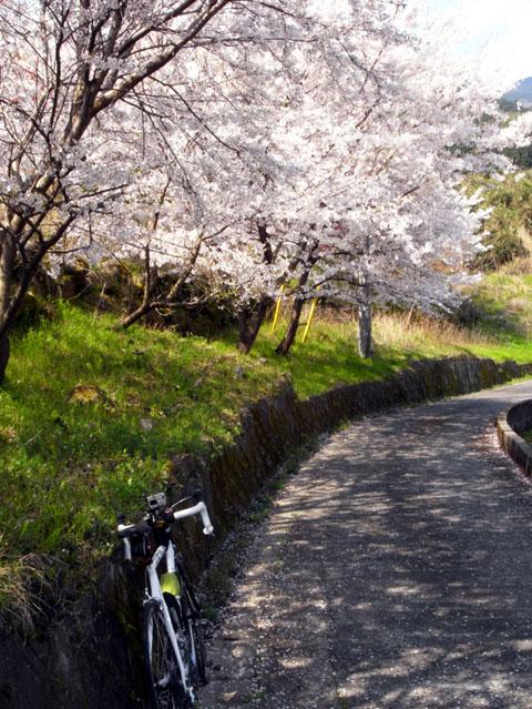今回,一番心安らいだ場所。誰も通らない田舎道と桜並木。 【フォトアルバムはこちら!】