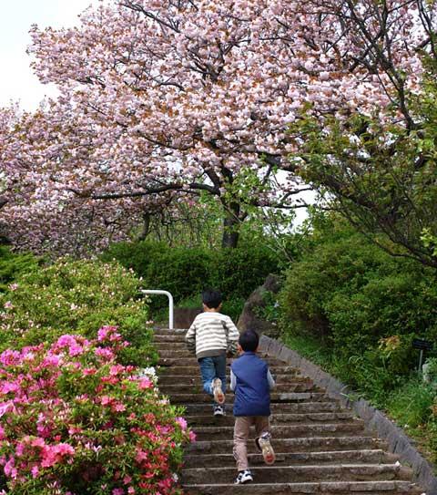 八重桜の下を走り抜けるチビ達。他にもボタンや椿など,いろいろな花が咲き誇っています。