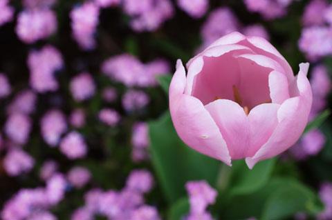 ピンクのチューリップの「丸さ」がかわいい。背景は,わすれな草。