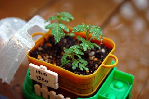 重ね重ね,本文とは関係ありませんが,梅雨は意外と写真が楽しいです(^^) これはチビ達のトマトの鉢植え。