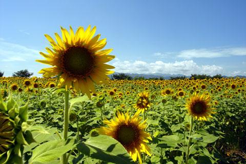遠~くの方までひまわり畑が広がっています。背が高いので撮るのも大変(^^)