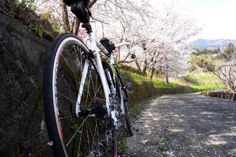 根府川の名もなき桜並木。好きなだけ止まって桜を眺める。