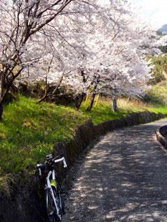 根府川の桜。良かったな~