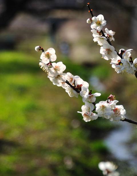 あまりの暖かさに,ご近所公園の梅も一気に咲きました。