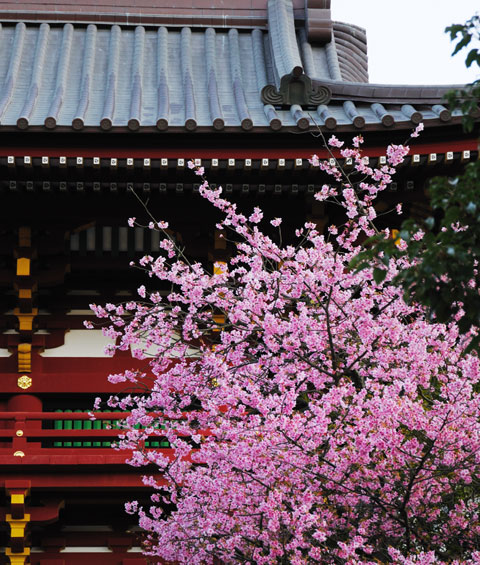 鶴岡八幡宮の河津桜。朝早すぎて日が当たってません(残念・・・)