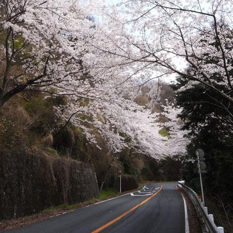 湯河原→大山の「椿ライン」。ほぼ海抜0m→1000mです。