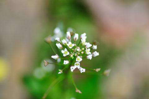直径1cmくらいの小さな花を激写。春は被写体だらけで困ります(^^)