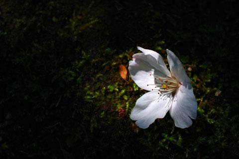 これは,咲いたまま散っているサクラ。(@海蔵寺付近)