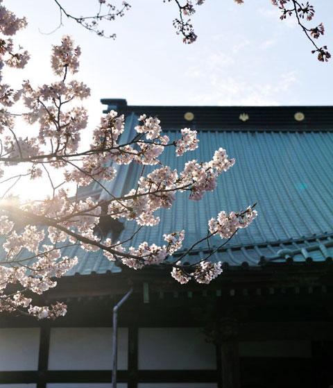 本堂前の桜。いいんだけど,雨樋がちょっと・・・。