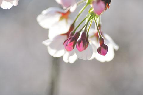 まだまだ蕾があります。7分咲きくらいかな?